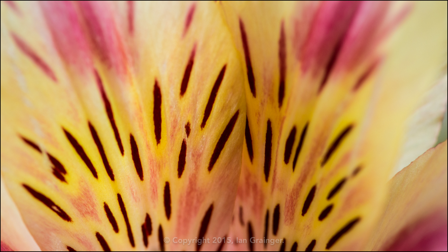 Abstract Alstroemeria