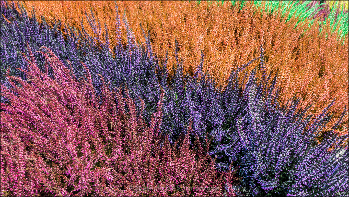 Food Coloured Heather