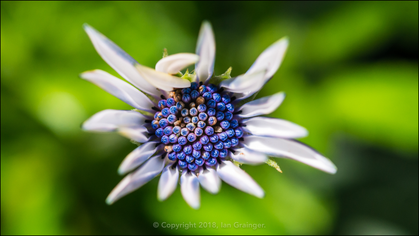Osteospermum Blues