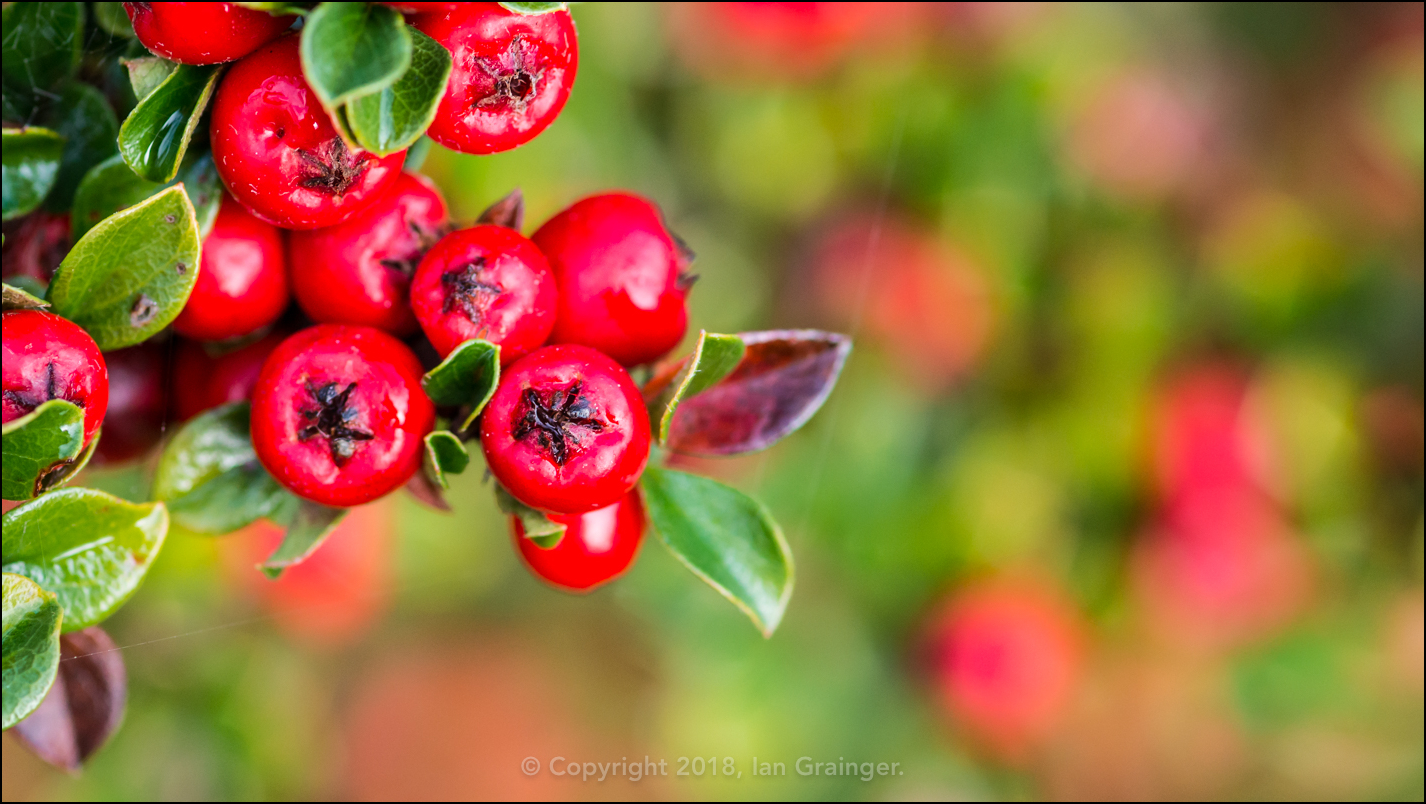Cotoneaster Bounty