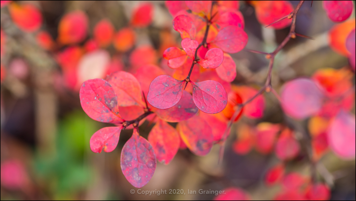 Colourful Berberis