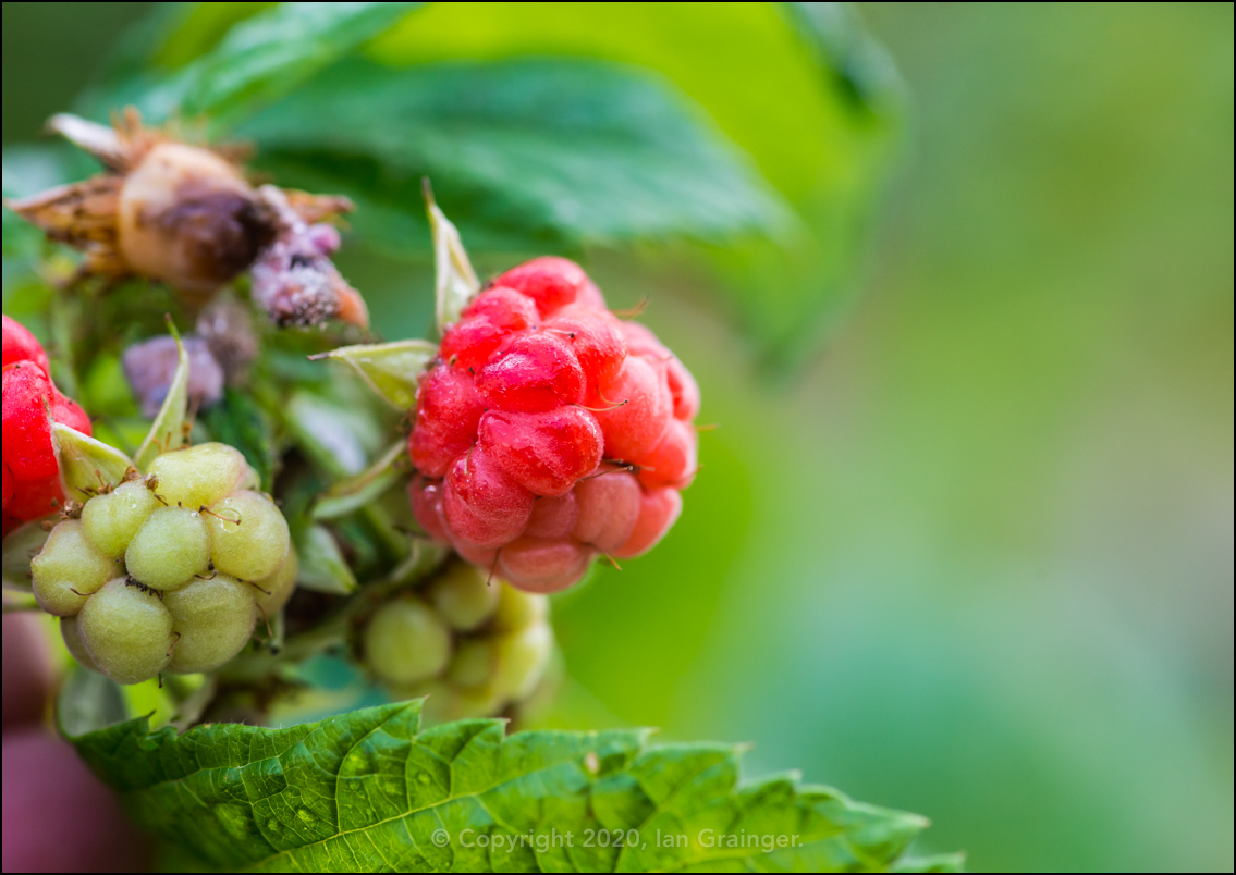 Late Raspberries